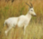 Noasanabis-White-Blesbuck.png