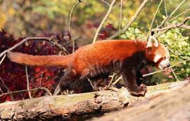 The red panda native to Himalayas and southwestern China.