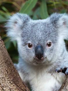 Lone Pine Koala Sanctuary is a koala sanctuary in Australian state of Queensland.