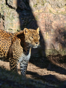 African Leopard, extremaly rare in South African wilderness.