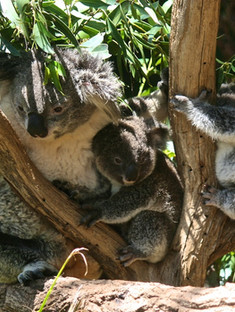 Lone Pine Koala Sanctuary was founded in 1927 and is the world's oldest and largest natural habitat koala sanctuary.