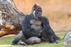Eastern lowland gorilla in Bioparc in Valencia.
