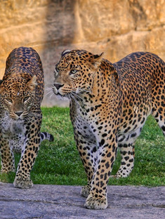 Leopars are hunted illegally, and their body parts are smuggled in the wildlife trade for medicinal practices and decoration.