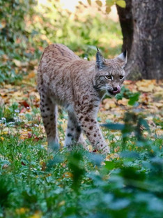 The Euroasian lynx, wild cat occuring in the forests on Northern, Central and Eastern Europe inlculding Poland, Germany and Russia.