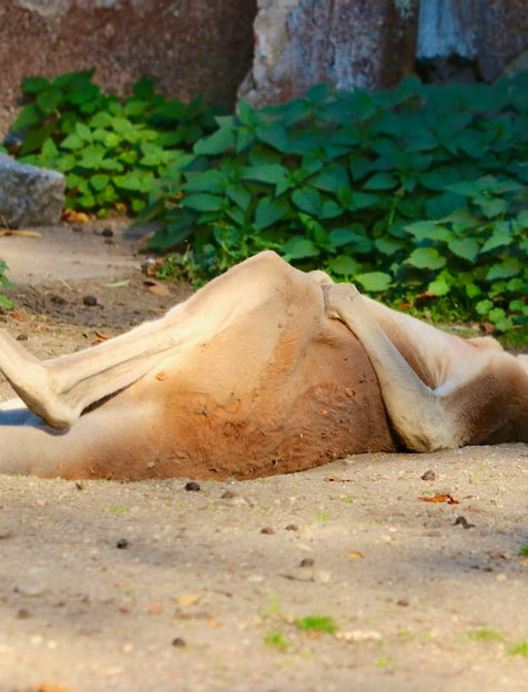 Red Kangaroo chilling in the Queensland sanctuary.
