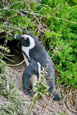 Once extremely numerous, the African penguin is declining rapidly due to a combination of several threats and is classified as endangered.