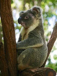 Koalas typically inhabit open eucalypt woodlands.