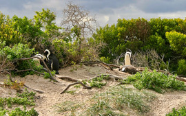 Cape penguin or South African penguin inhabiting southern tip of Cape province in South Africa.