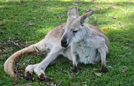 A Tasmanian eastern gret kangaroo
