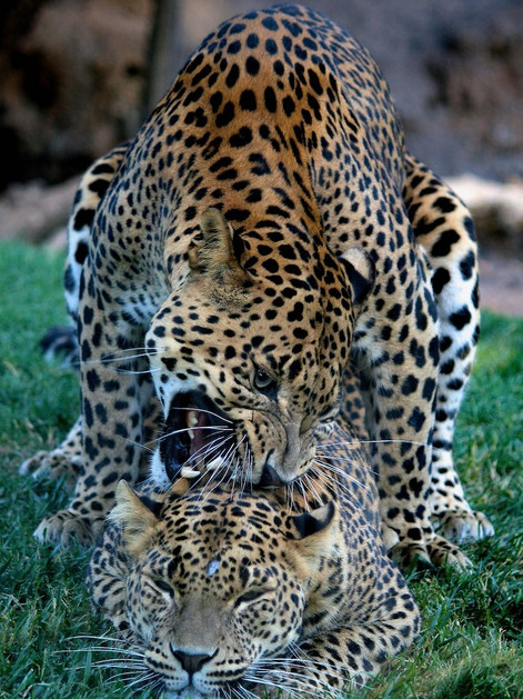 Two leopards mating, photograph captured in a Bioparc.