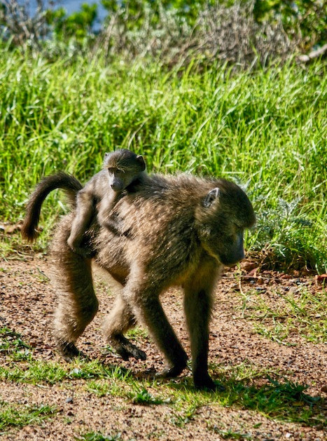 South African Cape Baboons.