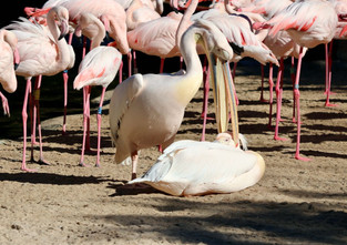 Flamingos in natural park of La Albufera.