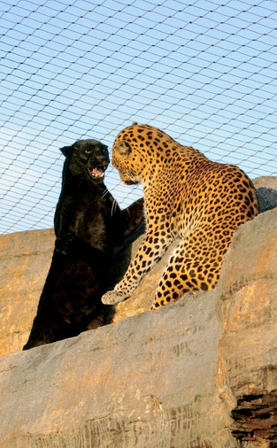 Melanistic leopars are called black panthers. Today they are extinct in most parts of South Africa.