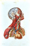 Hand-colored engraving, Heart and vessels anatomy, 1867