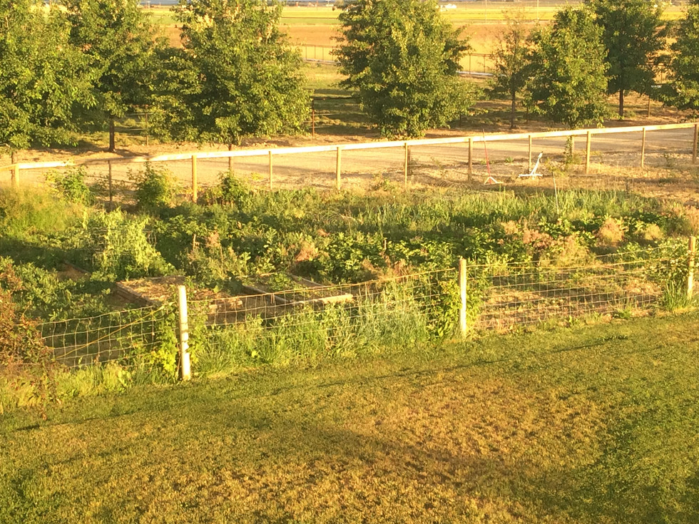 Plot 1 in 2015. 150x50 feet soon to be all berries.