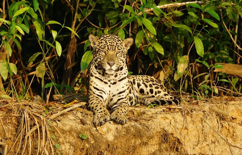 jaguar moco4.jpg