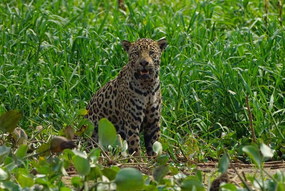 jaguar moco5.jpg
