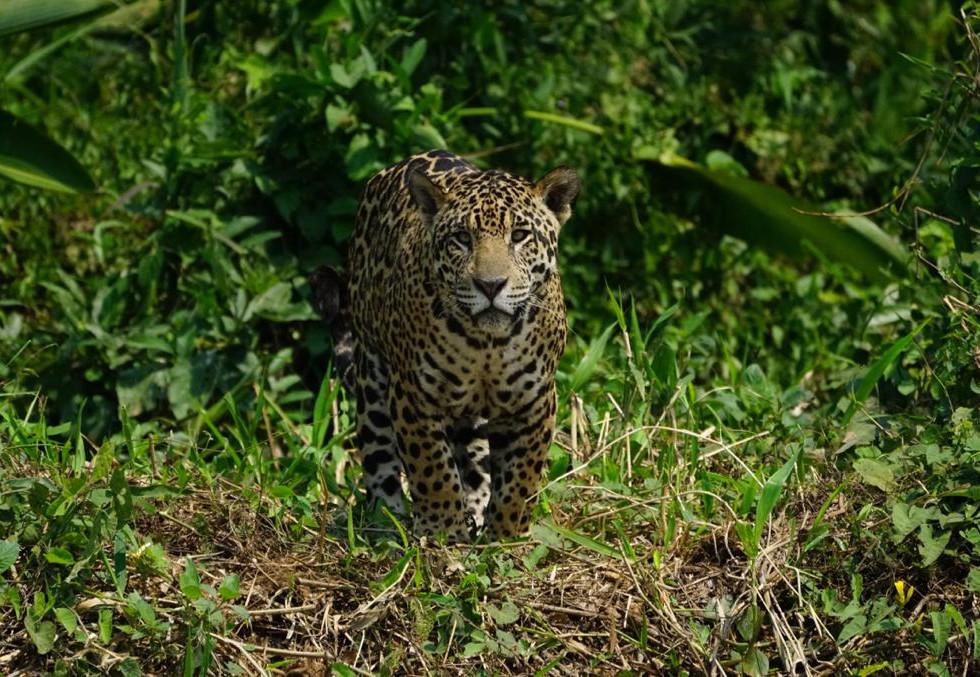 jaguar moco.jpg