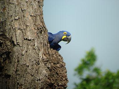 hyacinth macaw (5).jpg