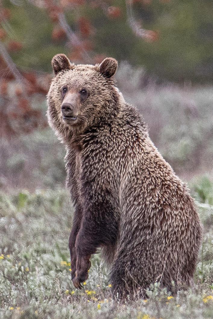 Grizzly Cub Rising ryanweb  6-10-19 0Y3A