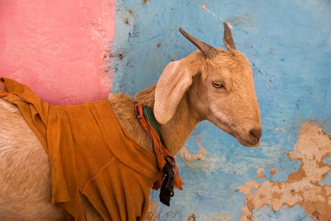 Indian Goat 1391Rcolor.jpg