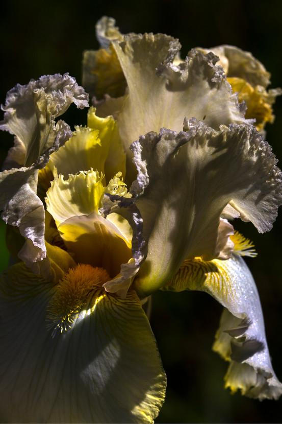 Iris 4O4A1853Rcolor2016.jpg