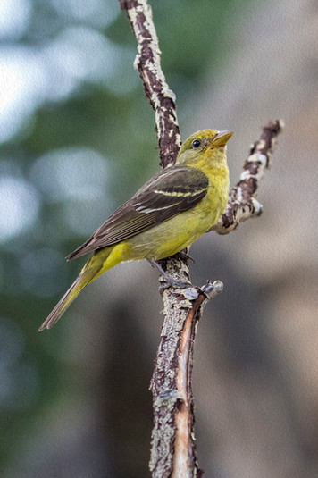 Bird R M National Park 7-17 4O4A2237RcolorOIL.jpg