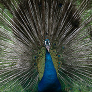 Peacock Such a Sight wix 5x7 B 3-7-19 0Y