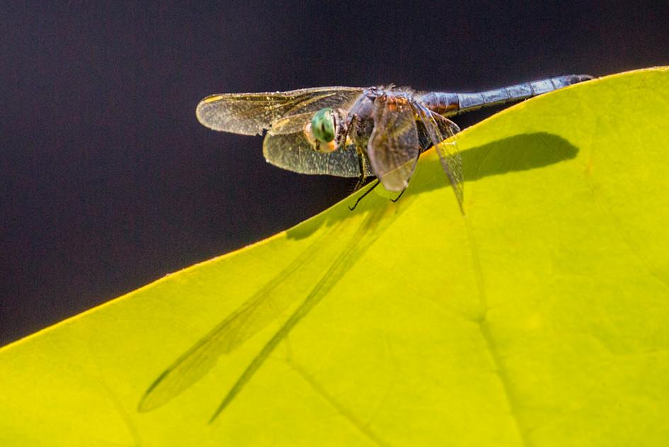 Dragonfly botanic gardens 8-16 4O4A5623Rcolortif.jpg