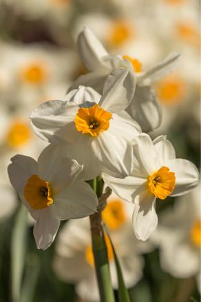 daffodils 4-17 4O4A6732Rcolor.jpg