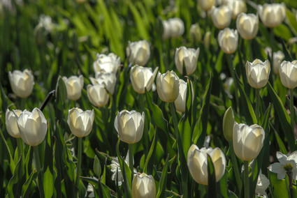 White Tulips 4-19 0Y3A8313Rcolor.jpg