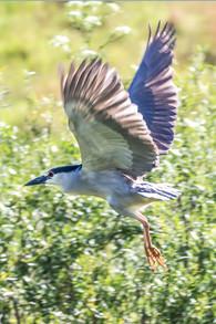 Blue Heron 6-16 4O4A1349Rcolor.jpg