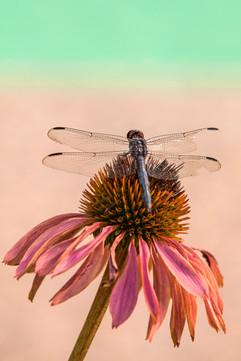Tartakoff dragonfly 8-14 4693Rcolor.jpg