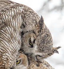 Owl Momma and Baby Cuddles web 4-16-2020