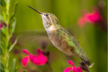 Hummingbird 8-16 4O4A5965Rcolor.jpg