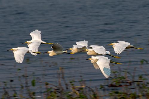 Egrets en Mass 4O4A5789RcolorB.jpg