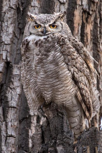 Great Horned Owl 3-17 RM Arsenal 4O4A6098Rcolor.jpg