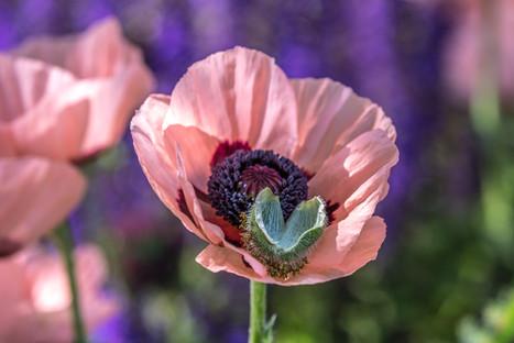 Poppy 4O4A2003R.jpg