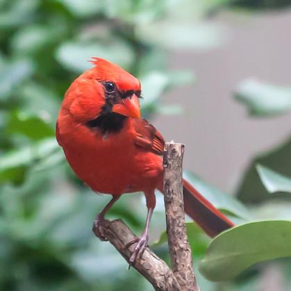 Cardinal-7281Rcolor.jpg