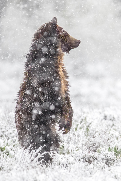 Grizzly Cub Ryan playing in the June Sno
