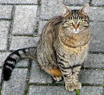Domestic_cat_cropped.jpg