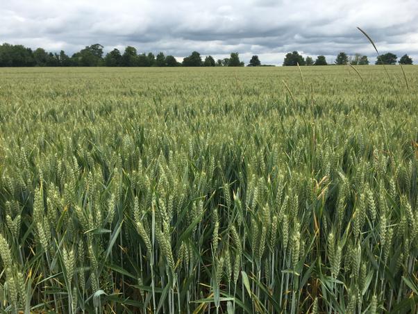 Sampling at a Cambridgeshire wheat farm