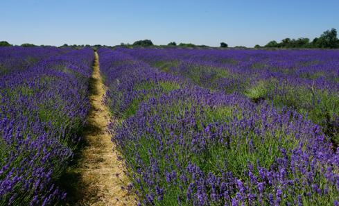 Sampling at a lavender farm in Surrey