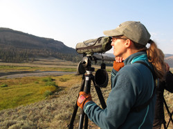 Watching Wolves in Lamar Valley, Yellowstone National Park