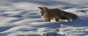 Fox%20on%20snow_edited.jpg