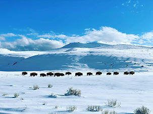Bison in a snow, Lamar Valley, Yellowstone