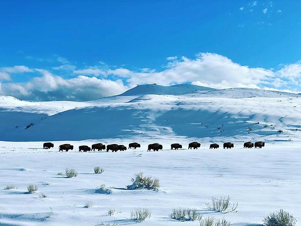 Bison walking through Yellowstone in winter