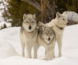 Hayden Wolf Pack, Yellowstone National Park