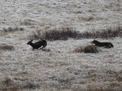 The Chase, Yellowstone National Park