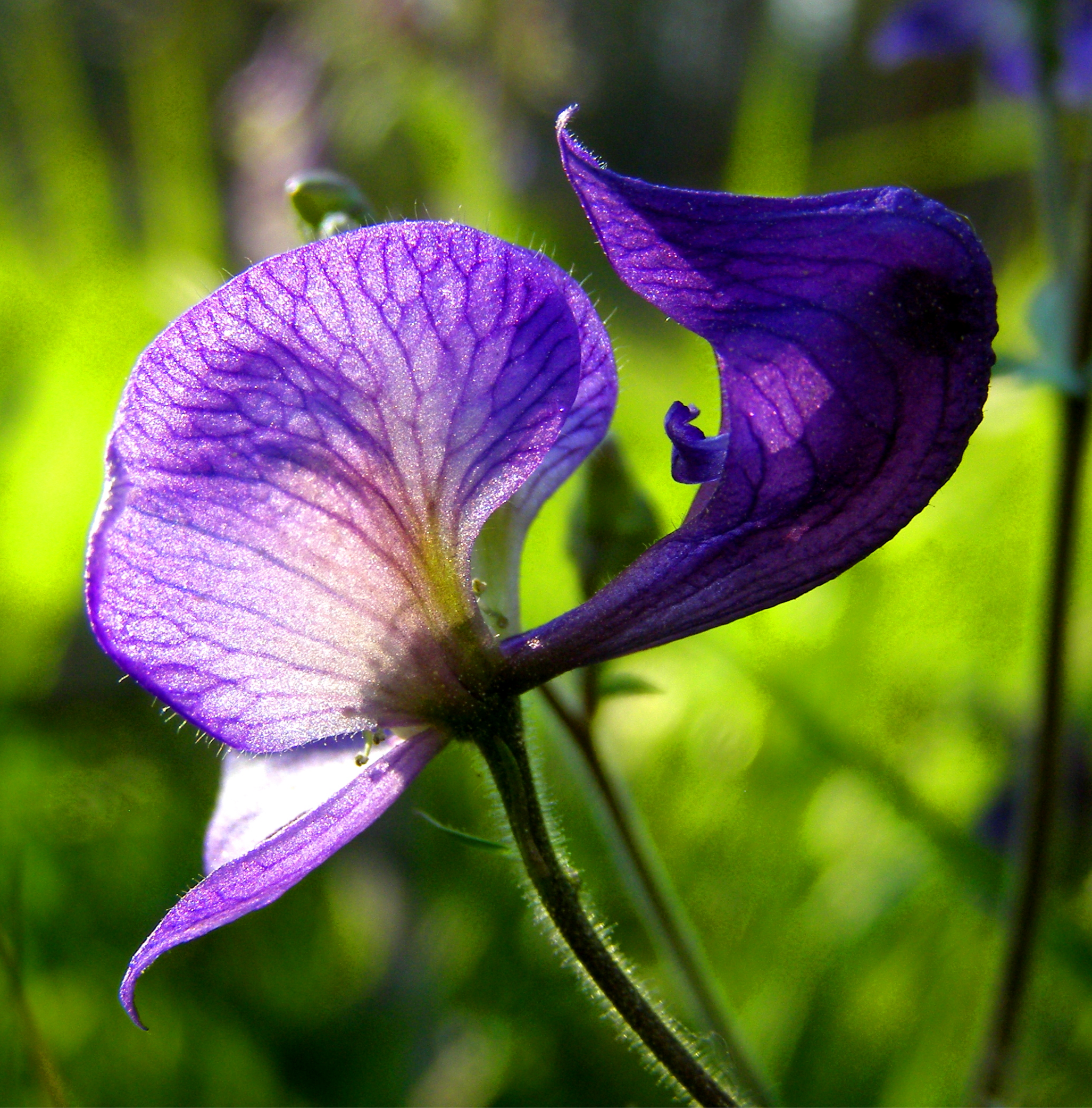 Monkshood, Yellowstone National Park